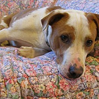 Adopt A Pet :: Yancy - Melbourne, AR
