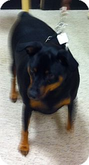 Miniature Pinscher Mix Dog for adoption in Loudonville, New York - Buster