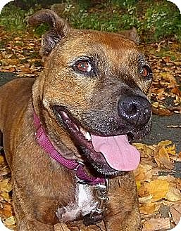American Pit Bull Terrier Mix Dog for adoption in Carmel, New York - Cassie