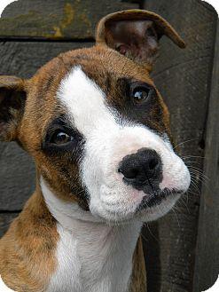 Boxer Mix Puppy for adoption in Monteregie, Quebec - Karma
