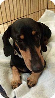 Dachshund Dog for adoption in Scottsdale, Arizona - Nicholas