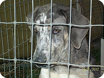 Catahoula Leopard Dog/Labrador Retriever Mix Dog for adoption in Mexia, Texas - Max