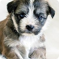 Adopt A Pet :: Gemma - La Costa, CA