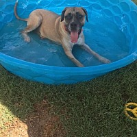 Boxer/Mastiff Mix Dog for adoption in Goodyear, Arizona - Raylee