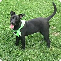 Adopt A Pet :: Brady - Houston, TX