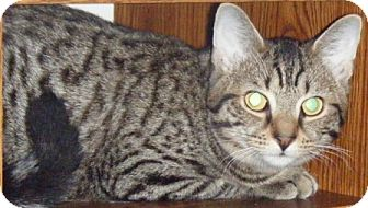 Domestic Shorthair Kitten for adoption in Kensington, Maryland - Richie
