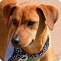 Adopt A Pet :: Santa's Little Helper - Austin, TX