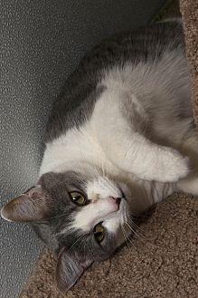 Domestic Shorthair Cat for adoption in Waynesville, North Carolina - Crash