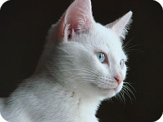 Domestic Shorthair Cat for adoption in Manhattan, Kansas - Sissy - Courtesy Post