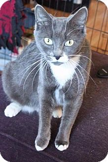 Domestic Shorthair Cat for adoption in Putnam, Connecticut - Piper