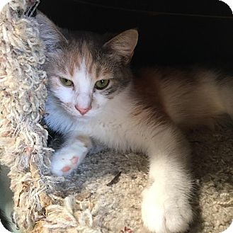 Domestic Mediumhair Kitten for adoption in Westminster, California - Camomile