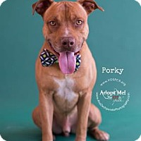 American Pit Bull Terrier Mix Puppy for adoption in Visalia, California - Porky