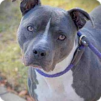 Adopt A Pet :: Blue Boy - Everett, WA