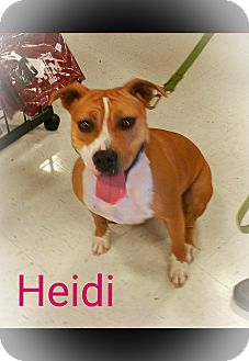 American Pit Bull Terrier/Bulldog Mix Dog for adoption in Houston, Texas - A-Heidi