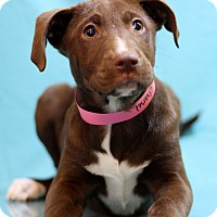 Adopt A Pet :: Chanel - Waldorf, MD