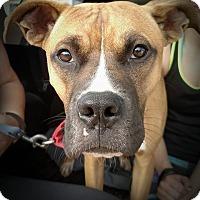 Adopt A Pet :: Gibson - Denver, CO