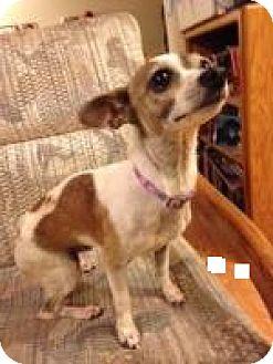 Chihuahua Mix Dog for adoption in Seattle, Washington - Daisy