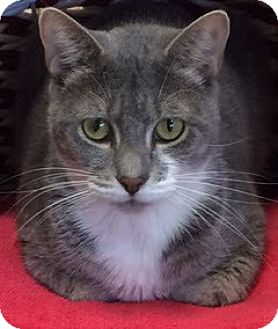 American Shorthair Cat for adoption in Bartlesville, Oklahoma - Electra