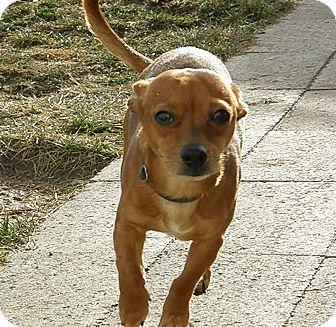 Chihuahua Mix Dog for adoption in Meridian, Idaho - JW