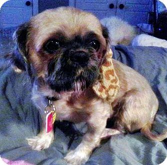 Shih Tzu/Pug Mix Dog for adoption in Toronto, Ontario - Cora