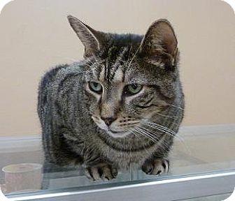 Domestic Shorthair Cat for adoption in Massapequa, New York - Simon