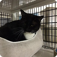 Domestic Shorthair Cat for adoption in La Grange Park, Illinois - Faline