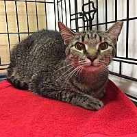 Domestic Shorthair Cat for adoption in Oviedo, Florida - Tabitha