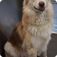 Adopt A Pet :: Kenobi - Sugar Land, TX