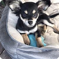 Adopt A Pet :: Pebbles - Yuba City, CA