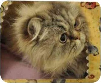 Himalayan Cat for adoption in Davis, California - Marley
