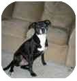American Staffordshire Terrier Mix Dog for adoption in Milwaukee, Wisconsin - Amber