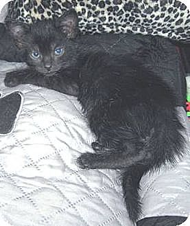 Domestic Shorthair Kitten for adoption in Miami, Florida - Spencer