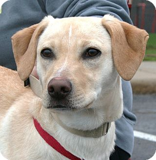 Labrador Retriever/Retriever (Unknown Type) Mix Dog for adoption in North Olmsted, Ohio - Piper