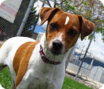Jack Russell Terrier Mix Dog for adoption in Meridian, Idaho - Kloe