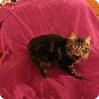 Maine Coon Cat for adoption in Blairstown, New Jersey - PA - Felix