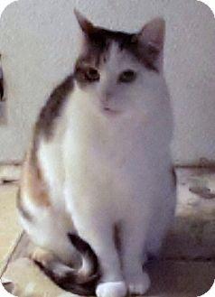 Domestic Shorthair Cat for adoption in Morganton, North Carolina - Sherry