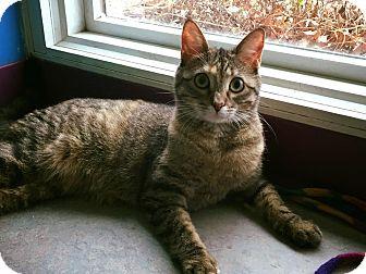 Domestic Shorthair Cat for adoption in Topeka, Kansas - Medley