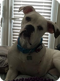 Boxer Mix Puppy for adoption in Lincoln, California - Maisey