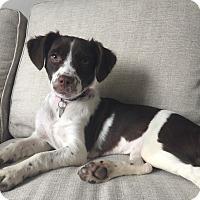 Adopt A Pet :: Nola - Chicago, IL