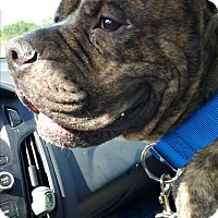 Staffordshire Bull Terrier/American Pit Bull Terrier Mix Dog for adoption in Lorida, Florida - Luka