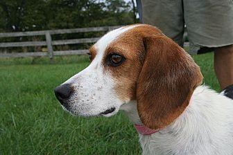 Beagle Mix Dog for adoption in Waldorf, Maryland - Lyla Garrett
