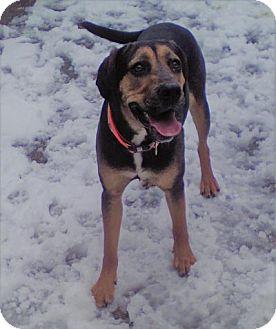 Bloodhound/Labrador Retriever Mix Puppy for adoption in Sauk Rapids, Minnesota - Darla