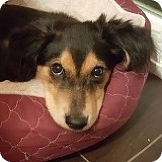 Dachshund Mix Puppy for adoption in Houston, Texas - Marci McIntosh