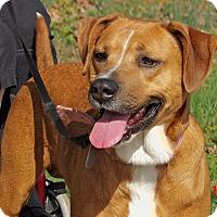 Adopt A Pet :: Rosey(60 lb) Great Therapy Dog - Burlington, VT