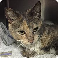 Adopt A Pet :: Pollyanna - Manchester, NH