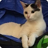 Adopt A Pet :: Clarisse - Enka, NC