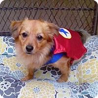 Adopt A Pet :: Super Hans - Fort Lauderdale, FL