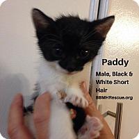 Adopt A Pet :: Paddy - Temecula, CA
