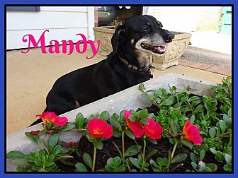 Dachshund Dog for adoption in Green Cove Springs, Florida - Miss Mandy