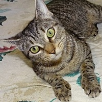 Adopt A Pet :: Patty Cakes - Mt. Vernon, NY